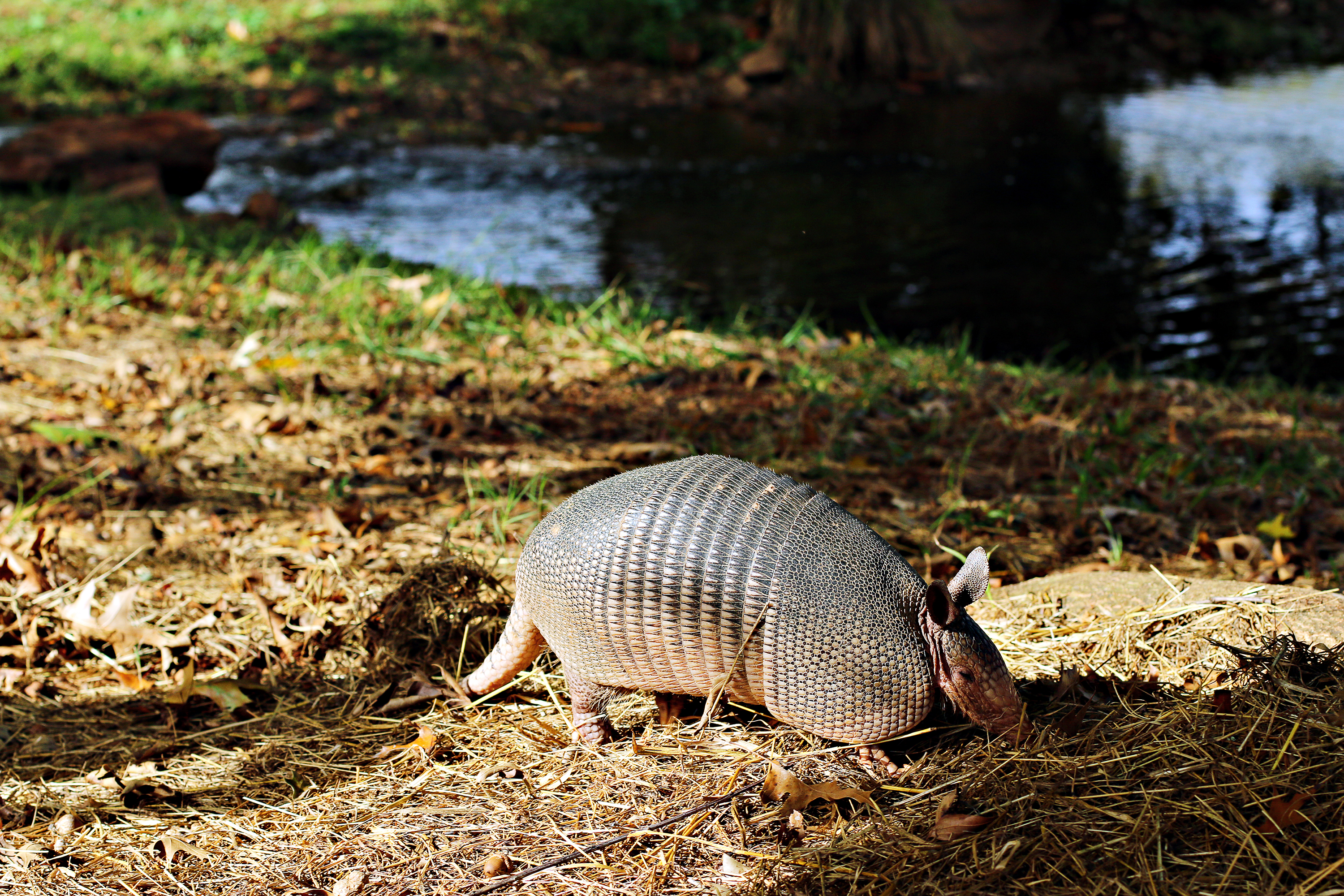 An armadillo rooting around at The Rock Ranch.